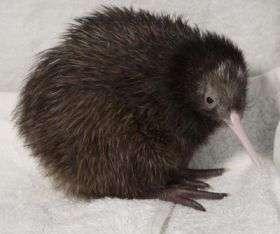National Zoo Kiwi