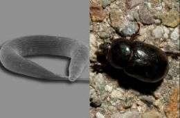 Nematode Pristionchus pacificus