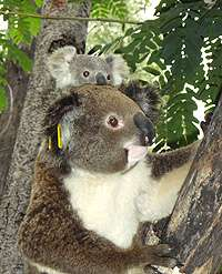 Orphaned koala becomes first-time mother