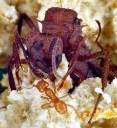 Royal corruption is rife in the ant world