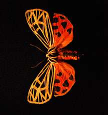 To survive, tiger moths are bright for birds, click for bats