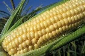 Toward a healthier food for Fido: Corn provides promising fiber alternative
