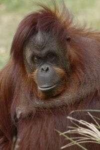 Whistling Orangutan