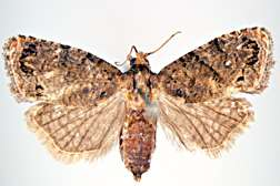 ARS Scientists Help Fight Damaging Moth in Africa