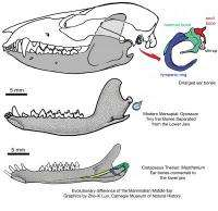 Chinese and American paleontologists discover a new Mesozoic mammal