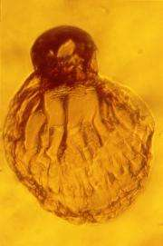 Diuscovery in amber reveals ancient biology of termites