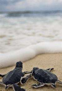 Green sea turtles (Chelonia mydas) head to the sea just after hatching.