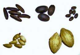 K-State researchers work with university in Ghana to create biofuels from native tree seeds