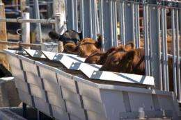 MU researchers help identify cows that gain more while eating less