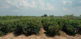 Safe seed: Researchers yielding good results on food cotton in field