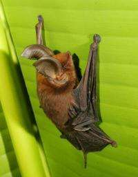 Sucker-footed bats don't use suction after all