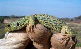 Artificial refuges created to save the reptiles of Doñana