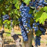 Greeks uncorked French passion for wine