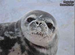Antarctic expedition studies survival strategies of Weddell seals