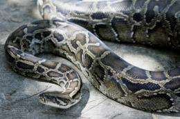 A 12-foot (3.65m) Burmese python that was captured in the backyard of a home in south Miami, Florida