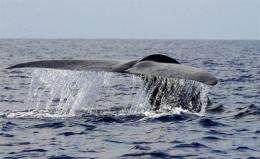 A blue whale swims in the deep waters off the southern Sri Lankan town of Mirissa