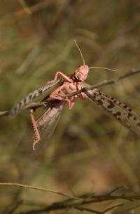 A desert locust