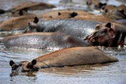 A group of hippos bathe in a shallow pool of water in the Tsavo West National Park, in southern Kenya