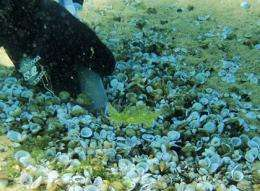 Annual Tahoe Report Says Asian Clam Invasion Is Growing Fast