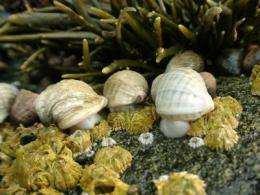 Atlantic snails are increasing dramatically in size, Queen's researcher discovers