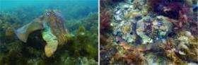 Australian Cuttlefish Camouflage