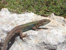A venomous tale: Vipers shape lizards' tail-shedding abilities