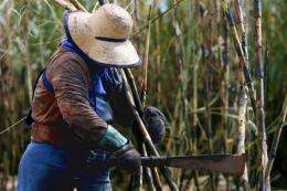 A woman cuts sugar cane with a machete during harvest in Guariba, Brazil