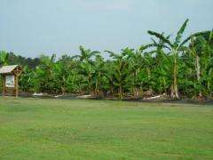 Bananas in the Landscape