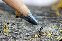 Beetle, fungus deliver one-two punch to black walnut trees
