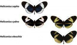 Caught in the act: Butterfly mate preference shows how 1 species can become 2