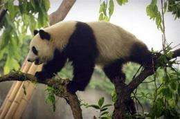 China's giant panda could be extinct in just 2-3 generations as rapid economic development is affecting its way of life