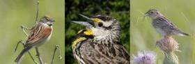 Common Grassland Birds