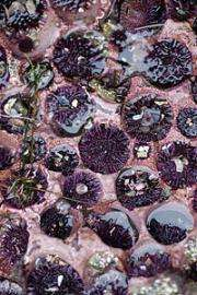 Dental delight! Tooth of sea urchin shows formation of biominerals