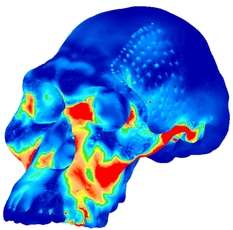 Early Human Skulls Shaped for Nut-Cracking