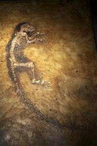 Early skeleton sheds light on primate evolution (AP)