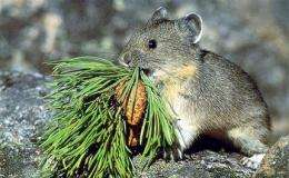 Feds: Mountain-dwelling pika may need protection (AP)
