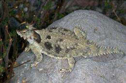 For horned lizard, horns alone do not make the species