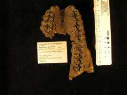 Fossil teeth of browsing horse found in Panama Canal earthworks