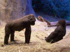 Gorrilas at Woodland Park Zoo, Seattle