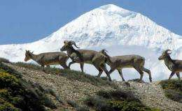 GPS to track blue sheep and snow leopard