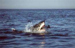 Great white sharks hunt just like Hannibal Lecter (AP)