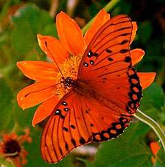 Gulf fritillary is back