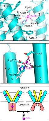 High-res view of zinc transport protein