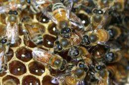Honey-bee aggression study suggests nurture alters nature