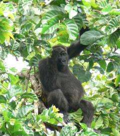 How gorilla gestures point to evolution of human language