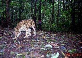Jaguar Camera Trap