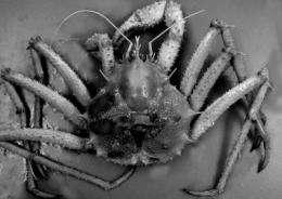 King crab family bigger than ever