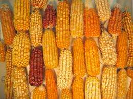 Maize findings could lead to vigorous new varieties and insights into human genetics