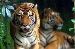 Malaysian wildlife authorities have rescued a five-year old Malayan tiger, badly injured in a snare set up by poachers