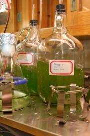 Nanofarming technology harvest biofuel oils without harming algae